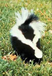 skunk stench