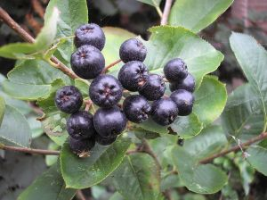aronia berries bushes