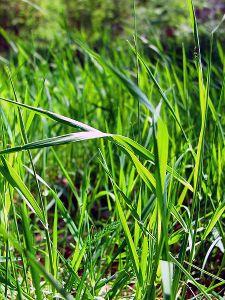 450px-Blade_grass