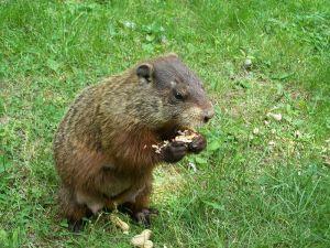 800px-groundhog2