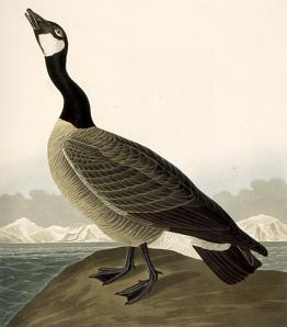 Audubon Canada Goose